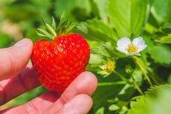 拿着在绿色叶子的一个完善的新鲜的被采的草莓和促进开花 图库摄影