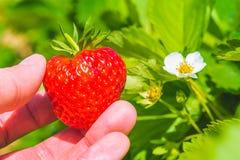 拿着在绿色叶子的一个完善的新鲜的被采的草莓和促进开花 库存照片