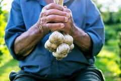 拿着在自然的老人新鲜的大蒜 自然本底 农夫 医学和健康 传统的医学 图库摄影