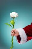 拿着在蓝色背景的圣诞老人的手一朵生存花 图库摄影