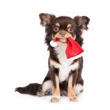 拿着在嘴的奇瓦瓦狗狗一个圣诞老人帽子 图库摄影