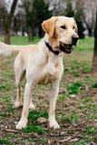 拿着在他的嘴的拉布拉多猎犬狗球 免版税库存照片