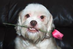 拿着在他的嘴的拉萨apso浪漫狗一朵玫瑰 非常美丽,非常爱恋的狗 免版税图库摄影