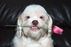 拿着在他的嘴的拉萨apso浪漫狗一朵玫瑰 非常美丽,非常爱恋的狗 库存照片