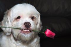 拿着在他的嘴的拉萨apso浪漫狗一朵玫瑰 免版税库存图片
