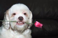 拿着在他的嘴的拉萨apso浪漫狗一朵玫瑰 库存照片