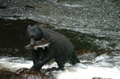 拿着在Of Whales王子的黑熊一条三文鱼在阿拉斯加 免版税库存照片