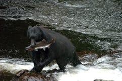 拿着在Of Whales王子的黑熊一条三文鱼在阿拉斯加 免版税库存图片