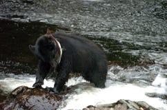 拿着在Of Whales王子的黑熊一条三文鱼在阿拉斯加 库存照片