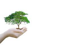 拿着大植物树的两次曝光生态概念人的手 库存照片