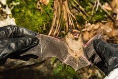 拿着大褐色蝙蝠的野生生物生物学家 免版税图库摄影