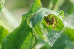 拿着它的巢的蜘蛛 免版税图库摄影