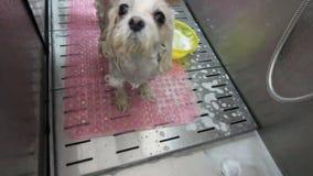 拿着宠物的女性groomer手 在水和泡沫的水池洗涤白色法国供玩赏用的小狗 看的逗人喜爱的小犬座 股票视频