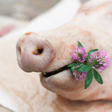 拿着小束三叶草的猪,猪的口鼻部 免版税库存照片