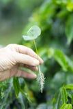 拿着小绿色植物的手 免版税库存图片