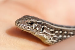 拿着少年巴尔干墙壁蜥蜴的爬虫学家手 Podarcis tauricus 库存图片