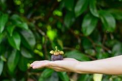 拿着山竹果树果子的手 图库摄影