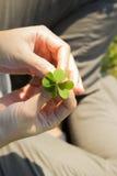 拿着幸运的三叶草叶子的手 免版税图库摄影