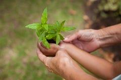 拿着幼木的资深妇女和女孩的播种的手 免版税库存照片