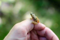 拿着微小的青蛙 免版税图库摄影