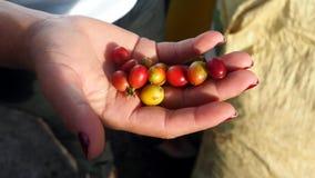 拿着成熟咖啡豆的手 库存图片