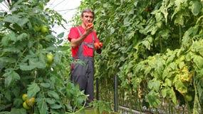 拿着成熟蕃茄的农夫 免版税库存图片