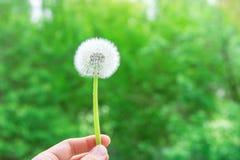 拿着手中白色蓬松蒲公英的年轻白种人妇女 绿色森林叶子背景 金黄阳光 上色充满活力 免版税库存照片