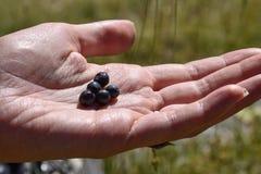拿着新近地摘的蓝莓的女孩` s手 图库摄影