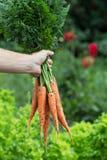拿着新近地被收获的红萝卜的人手 库存图片