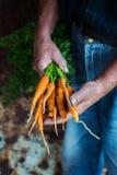 拿着新近地被采摘的红萝卜的人 库存图片