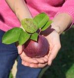拿着新鲜的摘的红色苹果的妇女 免版税库存图片