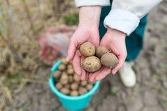 拿着新鲜的有机土豆的手 库存图片