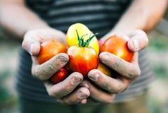 拿着新鲜的蕃茄的农夫在日落 食物,菜,农业 图库摄影