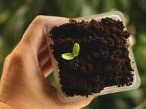 拿着方形的塑料杯种子的女性手生长在咖啡-自然绿色背景 免版税库存图片