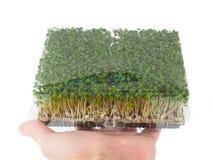 拿着有发芽的人绿色水田芥一个箱子 库存照片