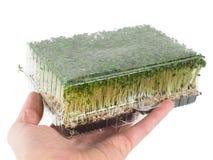 拿着有发芽的人绿色水田芥一个箱子 免版税库存照片