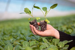 拿着有土壤的人的手年幼植物在被弄脏的自然背景 生态世界环境日CSR幼木去 免版税库存照片