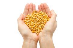 拿着有机玉米种子的妇女手 免版税库存图片