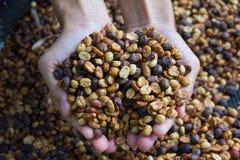 拿着未加工的咖啡豆的妇女的手烤看纹理,企业咖啡概念 库存照片