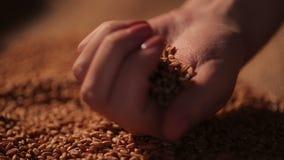 拿着极少数五谷种子的勤勉农夫,感到骄傲为辛苦结果 股票视频