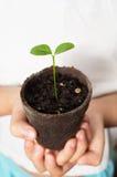 拿着柠檬幼木的亚洲儿童手 免版税库存图片