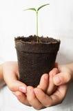 拿着柠檬幼木的亚洲儿童手 免版税图库摄影