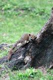 拿着树基地的灰鼠 免版税库存照片
