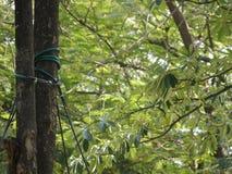 拿着树的吊索 图库摄影
