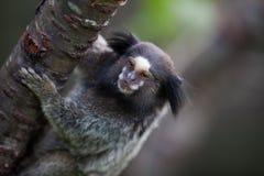 拿着树的小猿 免版税库存图片