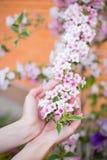 拿着桃红色在灌木的女性年轻手锦带花开花的分支在晴天在春天 免版税库存图片