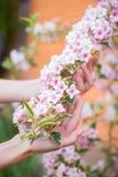 拿着桃红色在灌木的女性年轻手锦带花开花的分支在晴天在春天 库存图片