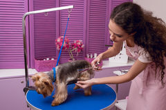 拿着梳子和剪刀的专业groomer,当修饰在宠物沙龙时的狗 免版税库存照片