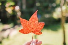 拿着橙色枫叶的手在秋天期间 免版税库存照片