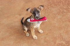 拿着狗穿上鞋子红色玫瑰褐色定调子的页举行 免版税库存图片